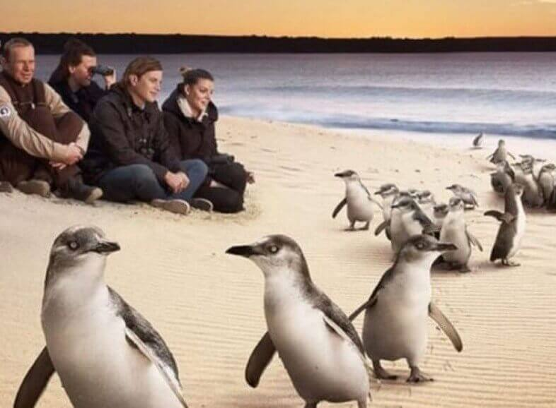 Melbourne Private Tours Private Phillip Island Penguin Tour Penguins on the Beach