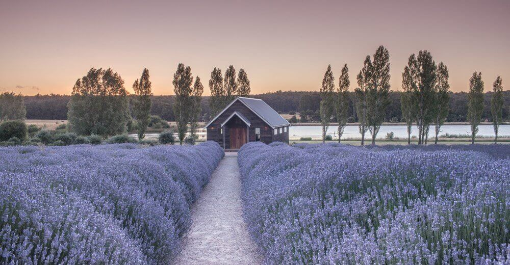 Daylesford wine tours Sault Restaurant Beautiful lavender farm with lovely house at Sunset