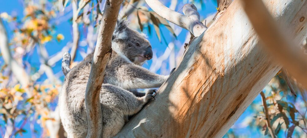 Koala relaxing on a tree branch Great Otway National Park